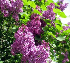Lilac 2014