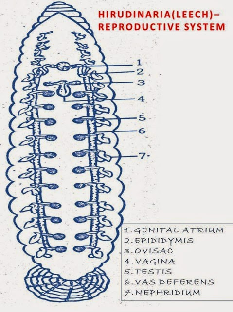 Hirudinaria-reproductive-system