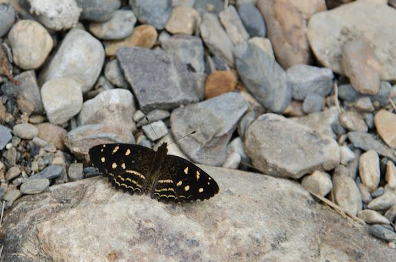 Dagon pusilla (SALVIN, 1869) ou Dagon catula (HOPFFER, 1874). Nord de Coroico à 1007 m d'alt. (Yungas, Bolivie), 17 octobre 2012. Photo : C. Basset