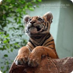 T wie Tiger #abcfee im Oktober