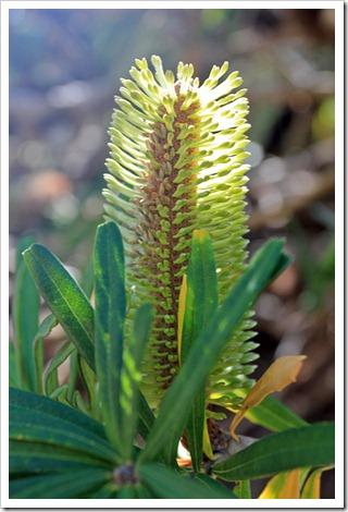 121027_UCSCArboretum_Banksia-marginata_02