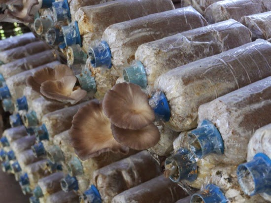 UK Farms - Fungi being grown on the farm