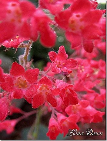 Heuchera_Crimson_Blooms