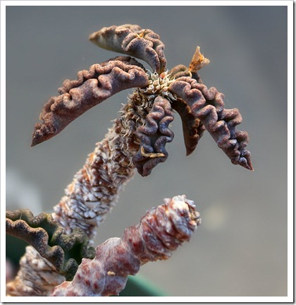 120302_Euphorbia-decaryi4