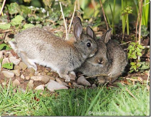 3 bunnies-4