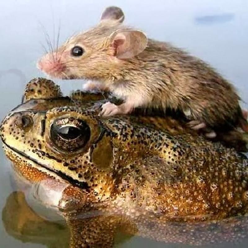 Katak dan Tikus Itu Bersahabat Lho!?