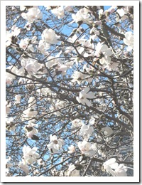 3.22.2012 star magnolia cape cod