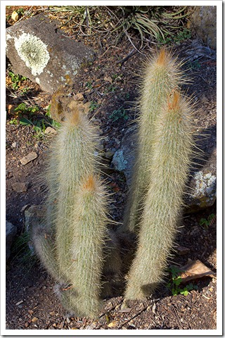 111228_UCBG_Cleistocactus-hyalacanthus_02