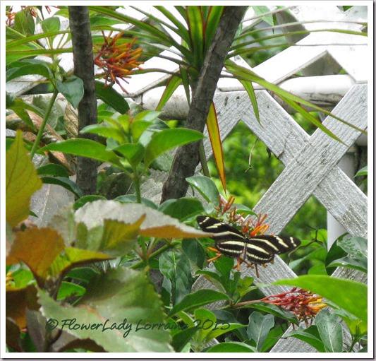 07-04-zebra-longwing