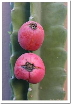 111203_cereus_hildmannianus_fruit