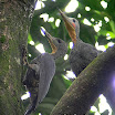 Great Slaty Woodpecker-02.jpg