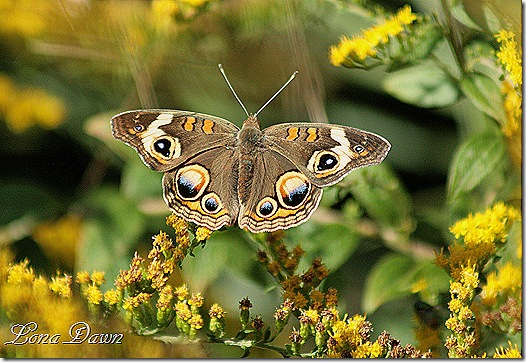 FPC_Butterfly_CommonBuckeye