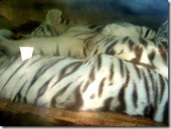 2011.07.26-017 jeunes tigres blancs
