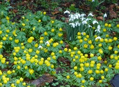 and aconites