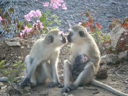 Imagini Kenya: Dragoste de maimuta