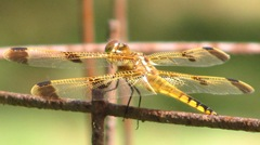 dragonfly barred wings1