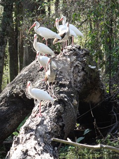 egrets on tree limb