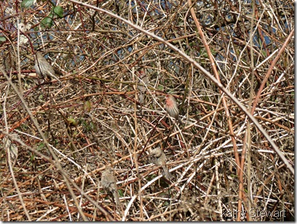 House Finches in the blackberries