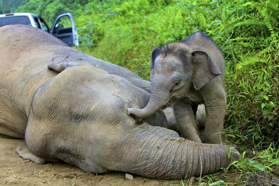 Three-month-old Bornean elephant calf next to dead mother. Officials suspect this elephant, and 13 others, were poisoned. Photo: Sabah Wildlife Department / Rhett A. Butler