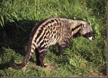 Amazing Pictures of Animals, photo, Nature exotic, funny, incredibel, Zoo, African civet, mammals, Alex (11)
