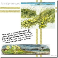0046_island_primroses