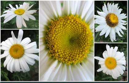 daisy collage 0608