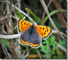 small copper female September 2014