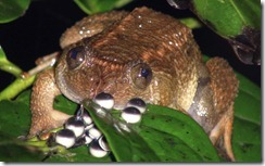 JOG'S NIGHT FROG- Nyctibatrachus jog