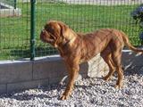 2013.08.20-033 dogue de Bordeaux