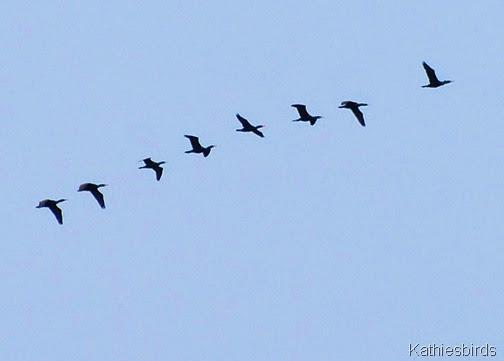 7. cormorants-kab