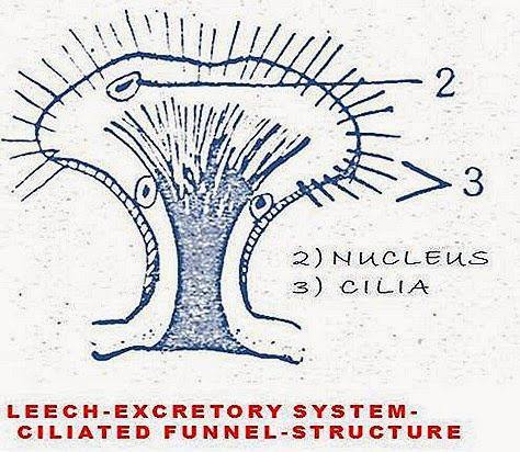 HIRUDINARIA-EXCRETORYSYSTEM-CILIATEFUNNEL