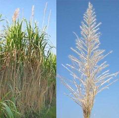 sugarcane inflorescence