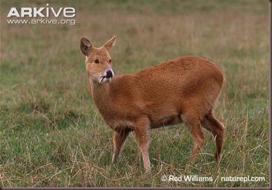 ARKive image GES036085 - Chinese water deer