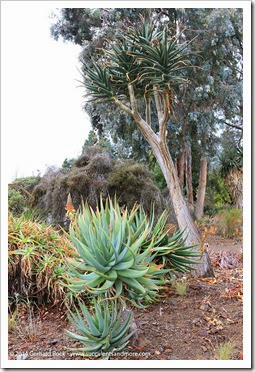 140208_RBG_Aloe-Caesia- -Aloe-Hercules_001