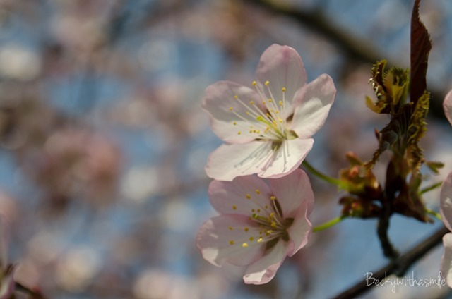 2013-05-26 Sakura 029