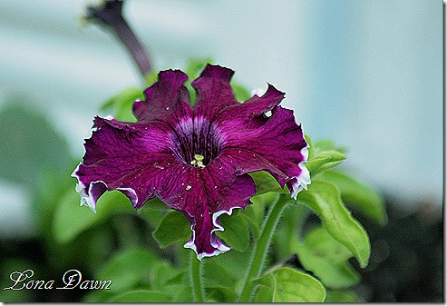 Petunia_BurgundyCanCan