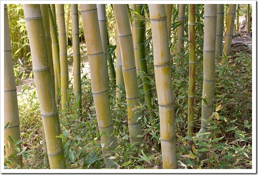 120427_FoothillBG_Phyllostachys-vivax_14