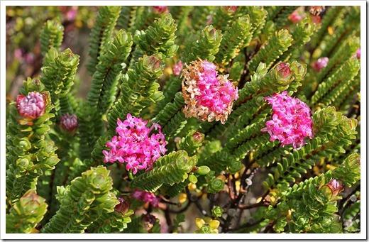 120211_UCSC_Arboretum_Pimilea-ferruginea-Bon-Petite_02