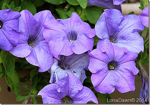 Petunia Heavenly Blue