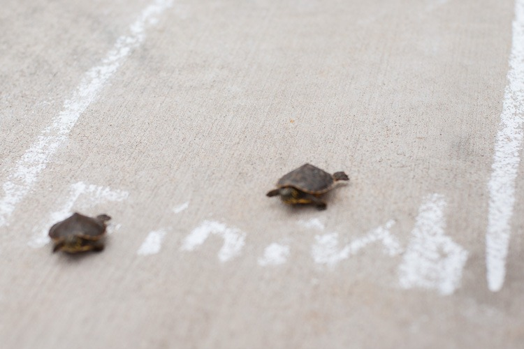 Turtle race blog-4