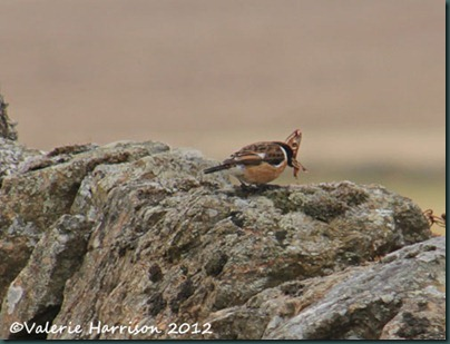 45-stonechat-and-emperor