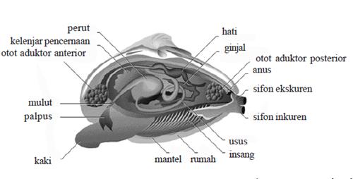 anatomi pelecypoda