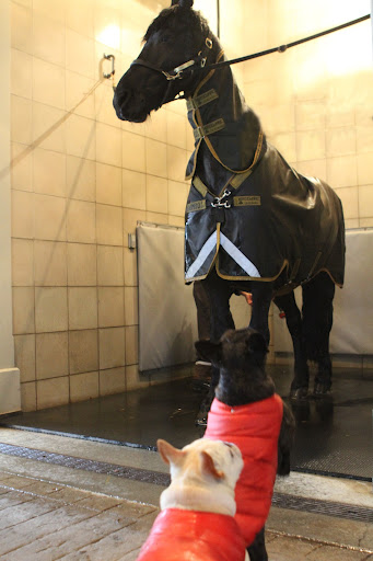 We Frenchies heard that horses like to roll in mud for the sheer enjoyment of it!  Studies show that there appears to be both an entertainment and social component to rolling.