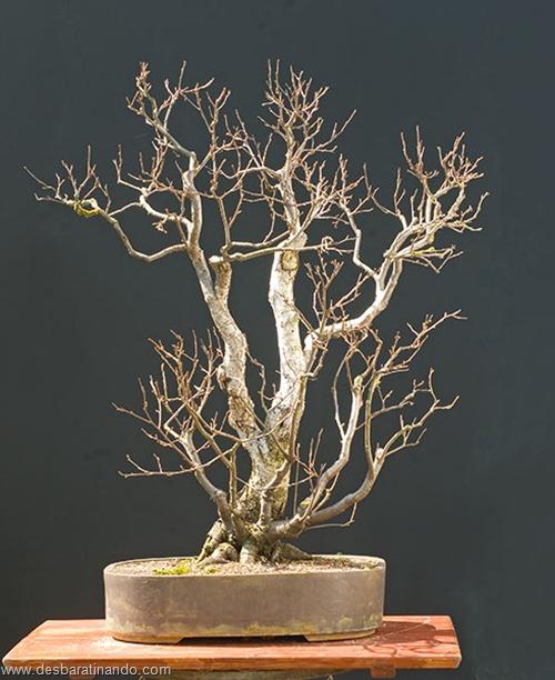bonsais arvores em miniatura desbaratinando (79)