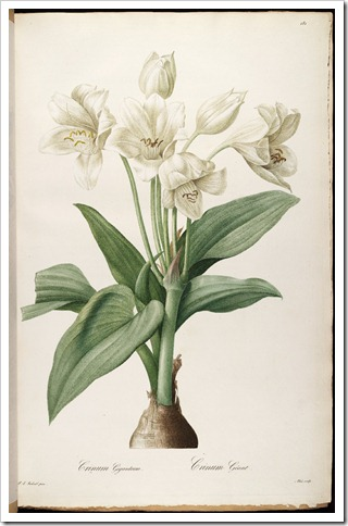 redoute_Crinum_jagus