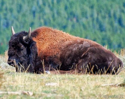 8. bison-kab