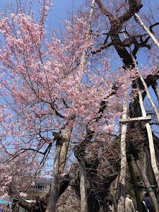 伊佐沢の久保の桜