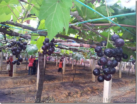 Ladang Anggur Tasik Beris 16