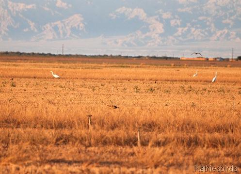 5. DSC_0086 egrets n curlews-kab