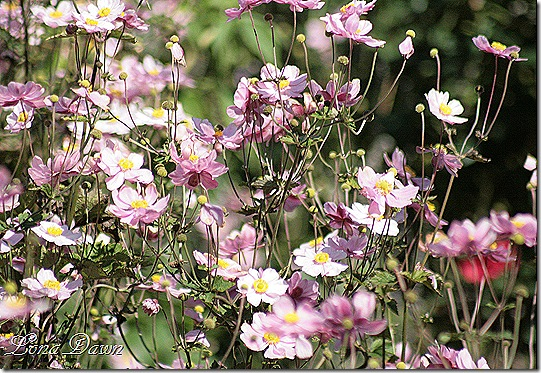 FPC_Anemones_Japanese_Pink2